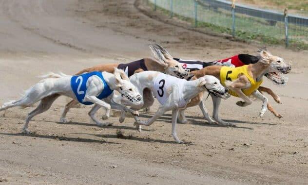 Best Sportsbooks for Greyhound Betting